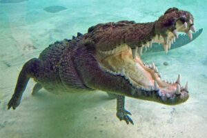 saltwater-crocodile-bite-force