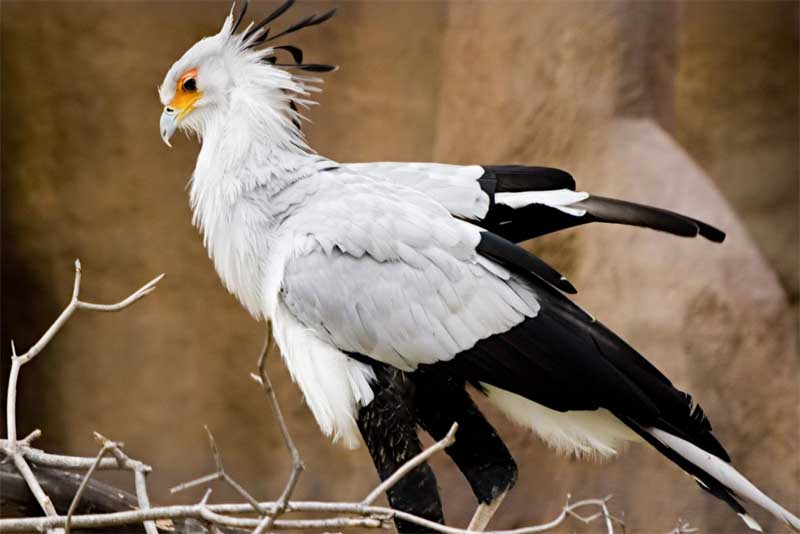 secretary-bird