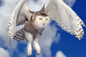 snowy-owl-dangerous-birds