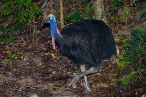 southern-cassowary-dangerous-birds