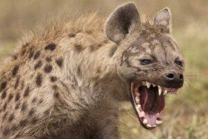 spotted-hyena-bite-force