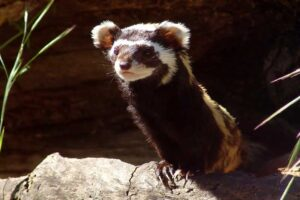 striped-polecat