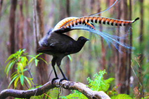 superb-lyrebird