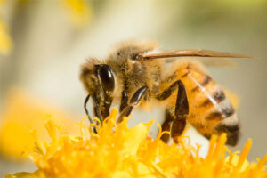 sweet-bee