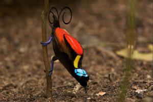 wilson's-bird-of-paradise