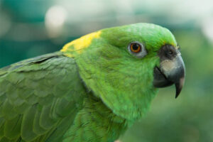 yellow-naped-amazon