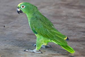 yellow-crowned-amazon