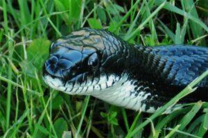 black-rat-snake