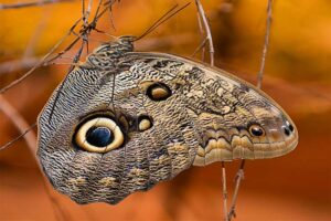 forest-giant-owl-butterfly