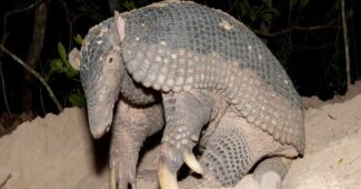 sleeping-giant-armadillo