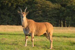 giant-eland