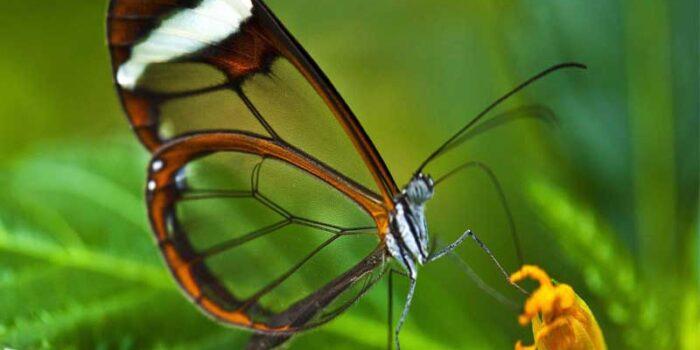 glasswinged-butterfly