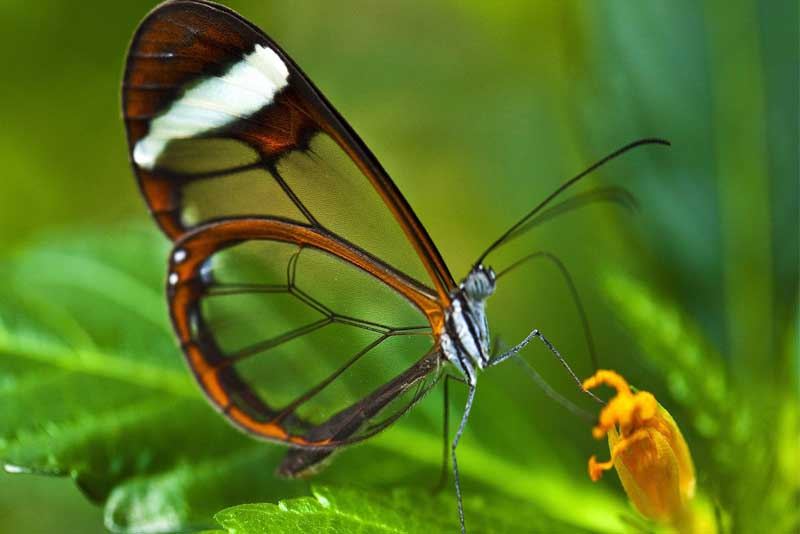 glasswinged-butterfly