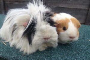 hairy-guinea-pig