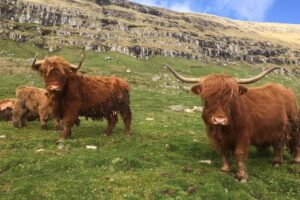 highland-cattle