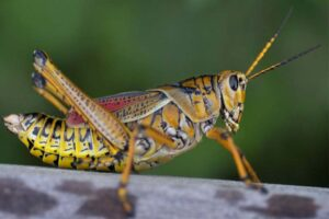 large-painted-locusts