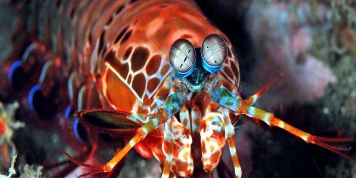 mantis-shrimp