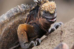 marine-Iguana