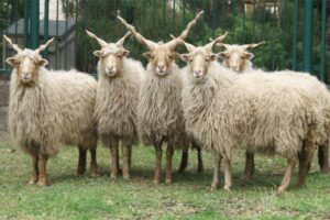 racka-sheep
