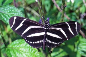 zebra-longwing-butterfly