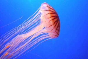 jelly-fish