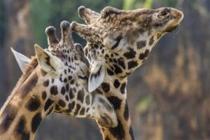 are-any-other-animals-related-to-giraffes