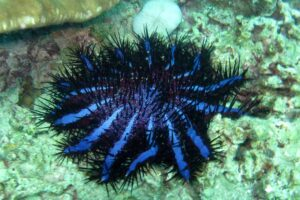crown-of-thorns-starfish
