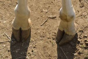 how-big-are-a-giraffe's-hooves