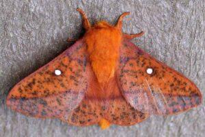 spiny-oakworm-moth