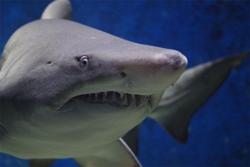 10-crazy-facts-about-sharks