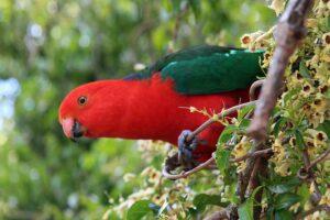 australian-king-parrot