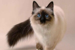 balinese-cat-breed