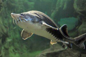 beluga-sturgeon