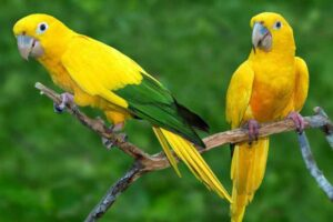 golden-parakeet