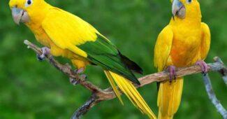 golden-parakeet