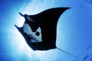 giant-oceanic-manta-ray