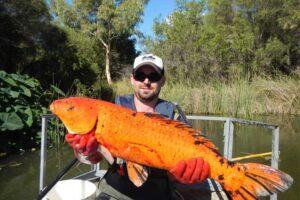 goldie-largest-goldfish