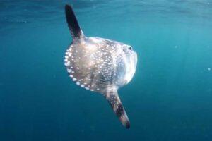 hoodwinker-sunfish