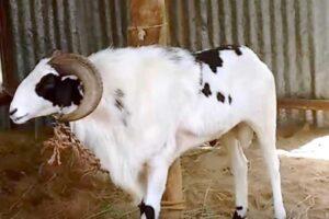 madurai-goat