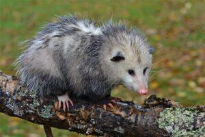 Opossum-virginia