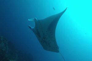 reef-manta-ray
