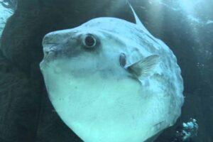 sharptail-mola