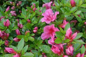 azalea-rhododendron