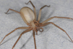 brown-recluse
