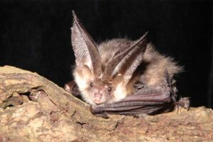 brown-long-eared-bat