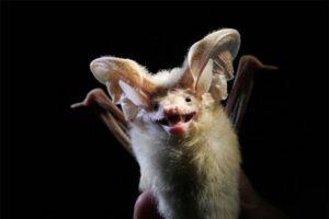 desert-long-eared-bat