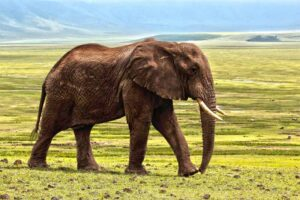 elephant-largest-land-mammal
