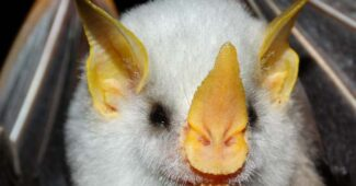 honduran-white-bat