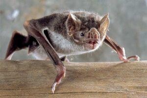 lesser-long-nosed-bat