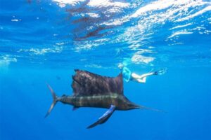 sailfish-fastest-fish